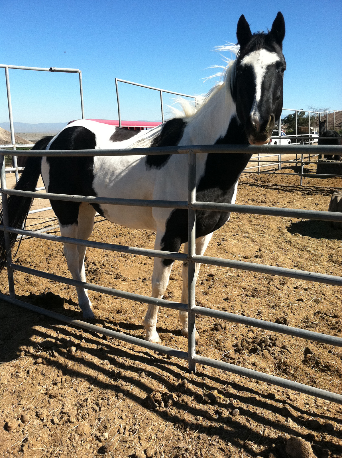 Wonderful, calm sweet 12 yr paint gelding needs new pasture home.